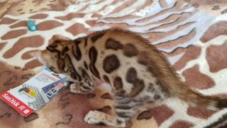 Bengal cat to by the Dnieper
