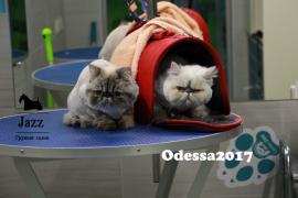 Стрижка кошек в Одессе. ЖМ Альтаир. Грумер Ирина Подгорная